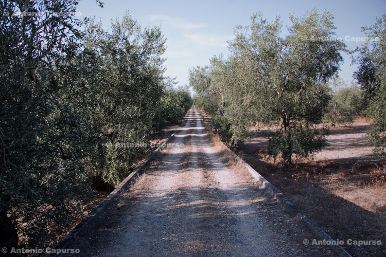 Countryside near Molfetta (2)