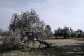 Old olive tree in Molfetta's countryside